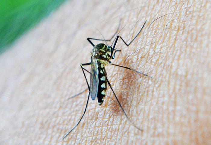 mosquito born zika virus